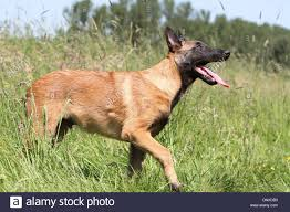 belgian sheepdog malinois dog belgian shepherd malinois young walking in a meadow stock