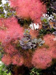 growing smoke trees how to grow a smoke tree in your yard
