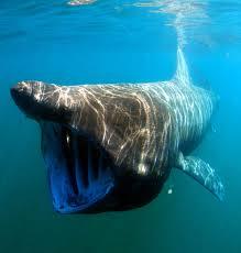 basking shark wikipedia