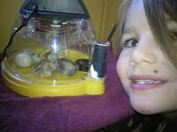 best incubator for a beginner advice please backyard chickens