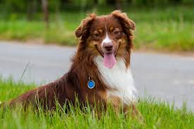 5 monate alter australian shepherd lost island