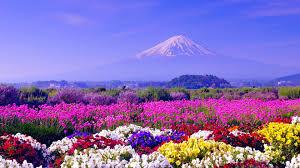 fields mountain fuji japan flowers field spring tulip fields hd