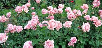 Fragrant Rose Plants - 10 intensely fragrant roses to plant in your garden top 10