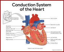 Anatomy And Physiology Online Quizzes Cardiac Anatomy And Physiology Quiz At Best Anatomy Learn