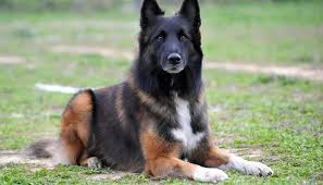 owning a belgian sheepdog 25 smart dog breeds that are easy to train quickly