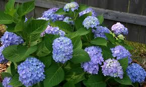 wholesale hydrangeas hydrangea shrub varieties tennessee wholesale nursery