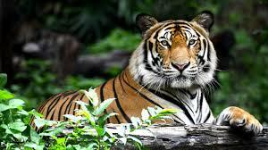 tiger jungle safari in india jungle safaris andbeyond