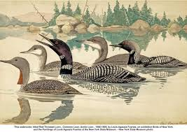 161 best loons images on beautiful birds loon