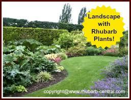 ornamental rhubarb garden landscaping plants cool gardening idea