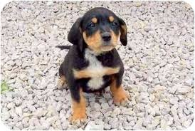 bluetick coonhound puppies near me duke adopted puppy sullivan mo rottweiler bluetick