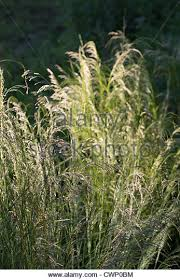 ornamental grasses uk stock photos ornamental grasses uk stock