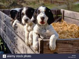 puppies indiana happy setter puppies in wagon floyds knobs indiana stock