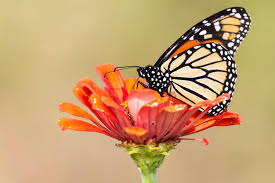 butterfly flower are monarch butterflies doomed researchers shed a of