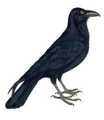 halloween black birds crow clipart