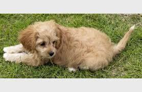 belgian sheepdog poodle mix poodle mix puppy cute puppy overload