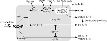 p2x7 receptor differentially couples to distinct release pathways