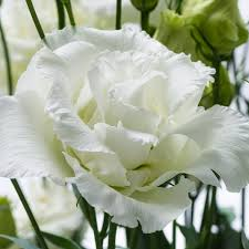 Lisianthus 188 Best Flower Lisianthus Images On Pinterest Flowers Pretty