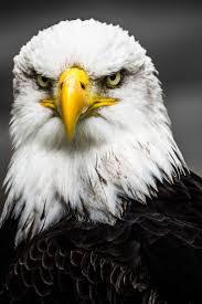best 25 eagle pictures ideas on pinterest bald eagle pictures