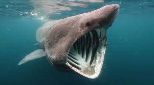 biggest megalodon shark the ten largest sharks in history