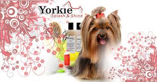 yorkie hair cut chart yorkie coat and coloring yorkie splash and shine