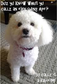 bichon frise long legs 639 best bichon frise images on pinterest bichons bichon frise