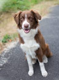 is an australian shepherd smart shelter dogs of portland