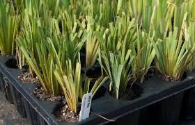 how to plant native grasses all articles u2013 the native plant herald