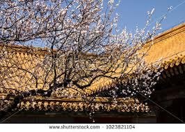 beautiful white apple blossom tree forbidden stock photo