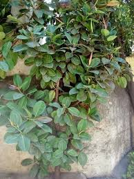 outdoor rubber tree plants can you grow rubber plants outside