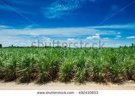 sugarcane field stock images royalty free images u0026 vectors