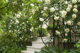 what are the best climbing old fashioned roses