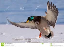 colorful drake landing male mallard duck flight 35981697 jpg 1300