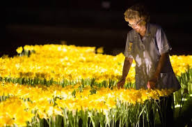 garden of lights hours garden of light daffodil installation celebrates marie curie nurses