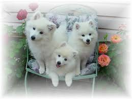 american eskimo dog rescue michigan cherub u0027s toy u0026 miniature american eskimo dogs