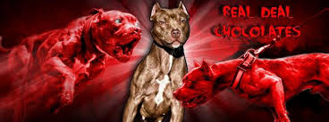 american pitbull terrier kennels in michigan chocolate red nose working american pit bull terriers