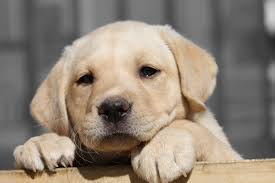 labrador puppies dog food buy lab puppy