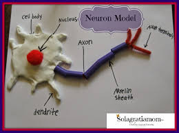 best 25 neuron model ideas on pinterest brain models human
