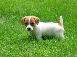 australian shepherd jack russell terrier miniature jack russell terrier picture