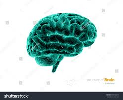 gallery anatomy human brain photograph human anatomy diagram