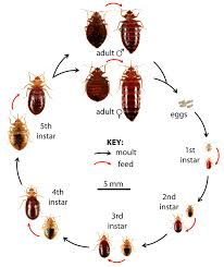 Mattress Cover Bed Bugs What Do Bed Bugs Look Like