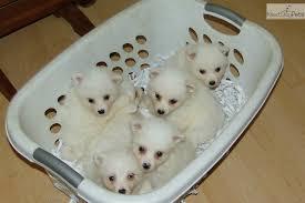 american eskimo dog dallas white fur ball american eskimo dog puppy for sale near