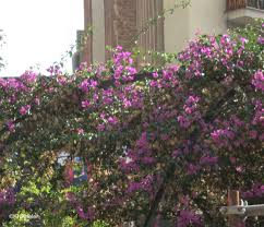 plants native to france a wandering botanist plant story bougainvillea from brazil to