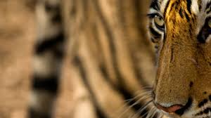 what is the best place to see tigers in india natural world safaris