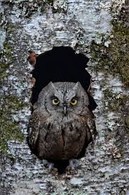 1366 best owls images on pinterest animals birds of prey and