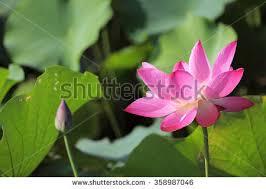 Lotus Flower Bloom - lotus flowers blooming on pond summer stock photo 604349702