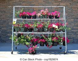 flowers for sale flowers for sale rack of bougainvillea in hanging baskets stock