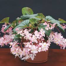 fragrant indoor plants top fragrant houseplants tea roses teas and leaves