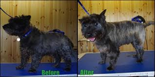cairn terrier haircuts dog grooming cairn terrier country view kennels
