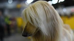 afghan hound kennel in australia adorable photos of dogs at the 2017 westminster dog show other