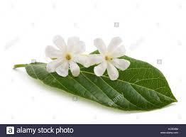 gardenia flowers stock photos u0026 gardenia flowers stock images alamy